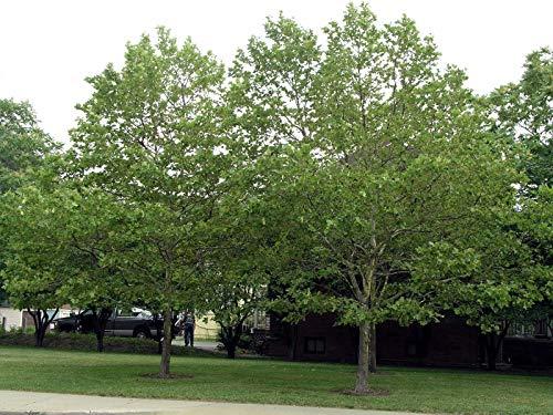 500 amerikanische Platane-Baum-Samen, Platanus occidentalis,