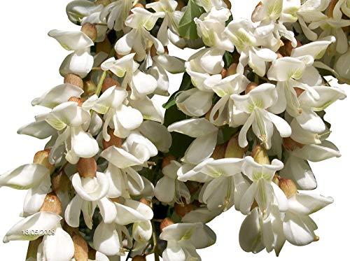 Robinie (Robinia pseudoacacia) 1000 Samen (Winterhart) Auch Bonsai geeignet<