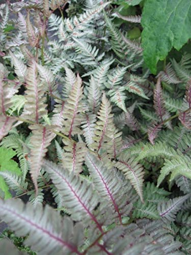 Brokatfarn - Athyrium niponicum Pictum