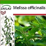 SAFLAX - Melisa u hoja de limón - 150 semillas - Con sustrato estéril para cultivo - Melissa officinalis