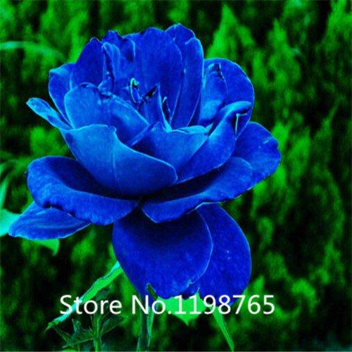 300PCS Multi Color ROSE GRAINES GRAINES-Bonsai Très belle fleur 100% Vrai Graines Bonsai plantes pour jardin