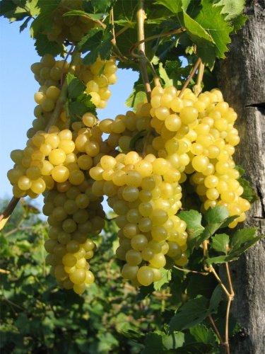 Vitis vinifera Primus | kernlose weiße Weintraube selbstbefruchtend veredelt