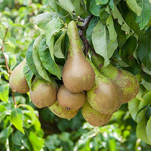 Thompson & Morgan Potted Mini Fruit Tree Pear, Ideal for Small Gardens & Patios, Self-Fertile Heavy Cropping, Delicious Fruit in Autumn, Easy to Grow, 1 x Pyrus (Pear) 'Conference' Plant in a 9cm Pot