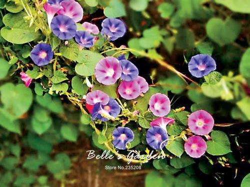 100 pcs/sac graines de pétunia, pétales de double graines de fleurs de pétunia, plante en pot bonsaï vivaces pour le jardin de la maison 9