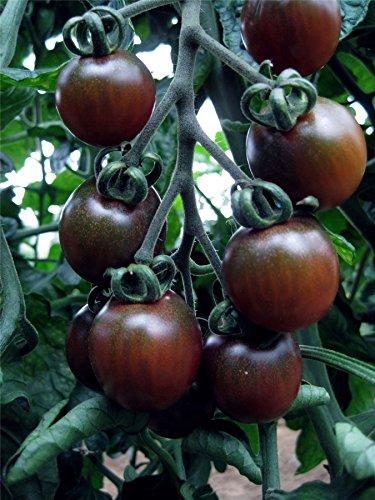 L?gumes???Kings Seeds???Tableau des paquets???tomates???Noir Opale???20?graines
