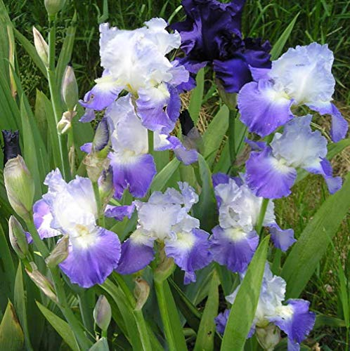 Iris Purple Double Color Flower Seeds 10pcs Iris missouriensis Organic Perennial Premium Easy to Grow Pond Plant Flower Seeds for Planting Garden Office Yard