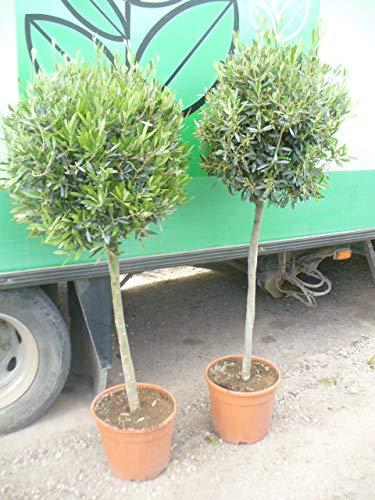 Olea Europea - Arbre d'olivier - 150 cm - 70/80 - Tronc droit