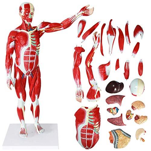 Modelo anatómico del músculo Humano 78 cm / 30,7 Pulgadas Modelo Muscular anatómico anatomía Humana científica Modelo de músculo Humano Desmontable con órganos internos