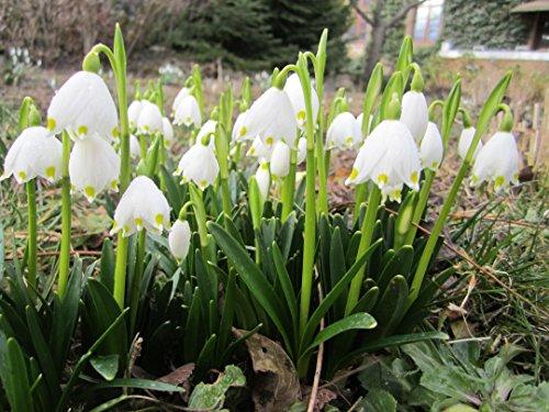 20 Märzenbecher Samen/Frühlingsknotenblume/Leucojum vernum