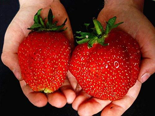 ScoutSeed 500 Stück Samen Erdbeer Pflanze Riesen Bio Obst Gemüse Non-GMO Bonsai NEUE