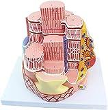 BBYT Anatomia Umana Fibra Muscolare scheletrica MICROanatomy Modello Ingrandisci 40.000 Volte Medico educativo Aiuti alla Formazione, Kit scientifici, Forniture per Laboratorio