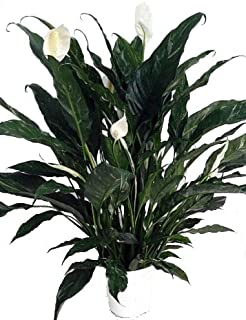 'Domino' Peace Lily Plant - Spathyphyllium - NEW - Easy - 6