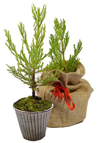 Seedeo® Berg - Mammutbaum (Sequoiadendron giganteum) Pflanze 2 Jahre Geschenkedition 3