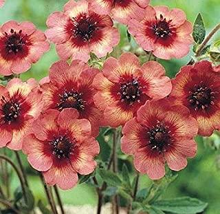 Potentilla nepalensis 'Melton Fire' / Hardy Perennial/Seeds