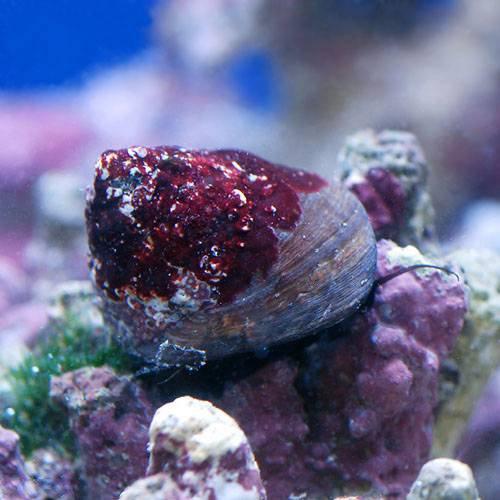 (海水魚 貝 無脊椎)シッタカ貝 ミックスサイズ(10匹) 本州・四国限定[生体]