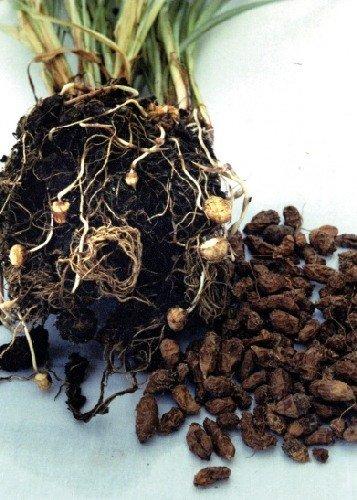 Tropica - Gemüse - Erdmandel (Cyperus esculentus) - 5 Samen