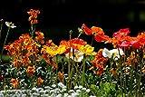 Semi di papavero della California - Mission Bells Mix, confezione perenne di fiori selvatici da 10G (80000+) semi (10g (80000+) semi)