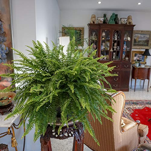 """United Nursery Boston Fern Live Indoor Outdoor Plant Hanging Basket 28-30"""" inches Wide"""