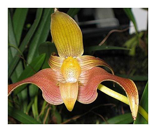 Bulbophyllum polystictum - orchidée - 100 graines