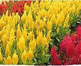 Cresta de gallo Semillas de flores coloridas 50+ Gallo mezclado Ciruela gigante Loco (Celosia Argentea) para la plantación de bonsai Jardín Jardín al aire libre Interior