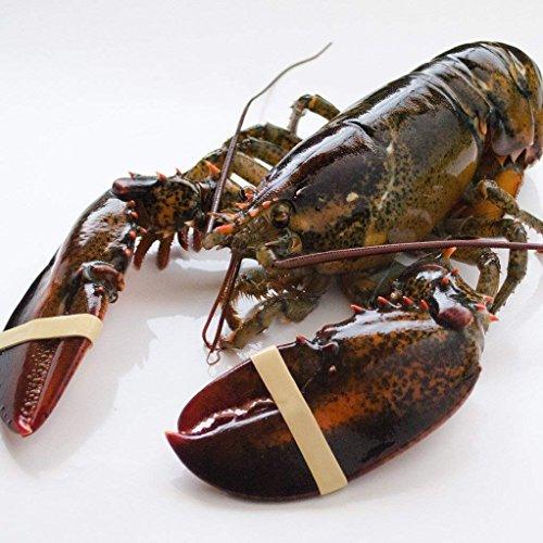 天然活オマール海老 500g 5尾 カナダ産 活物専門商社【魚活】