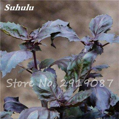 200 pièces rares Violet basilic Graines Bonsai Plante aromatique douce Ocimum basilicum Légumes Aromatique Graines Bonsai Pour la maison Cuisine