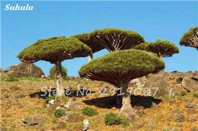 Livraison gratuite 10 Pcs rares Dracaena arbre alpiste Tree Island Sang (Dracaena draco) voyantes, Jardin des plantes exotiques 2 Diy