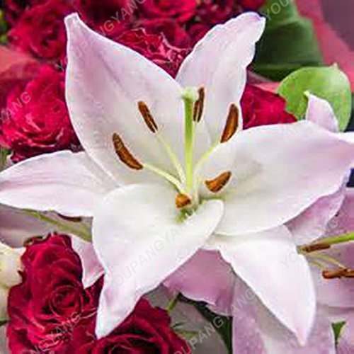 100 particules/lot Réductions Blue Heart Lily Graines de plantes en pot Bonsai usine Lily Graines de fleurs pour jardin Plantation kaki foncé