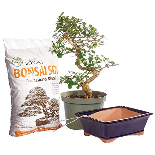 Brussel's Bonsai Live Fukien Tea Indoor Bonsai Tree Bundle-12 Years Old 10' to 14' Tall with Soil & Decorative Container, PIY Large