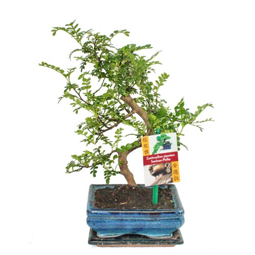 Bonsai Szechuan-Pfeffer - Zanthoxylum piperitum - ca. 6 Jahre