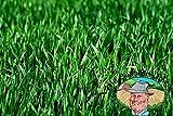 Premium Winter Rye Grass Seeds 20 lbs, Non-GMO, Cover Crop