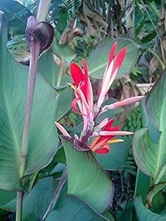 Raflesa 2 Big Bulb Metroxylon sagu Arrowroot, West Marantaceae Sago Palm West Indian