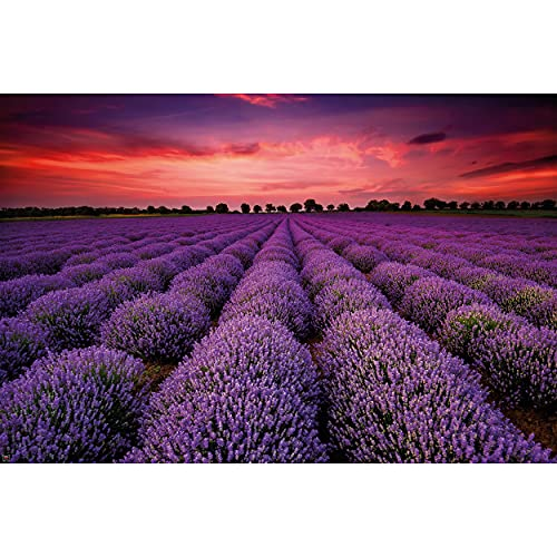 Poster – Lavender Field – Picture Decoration Floral Design Charm of French Provence Natural Flowering Bushes Pastel Purple Image Photo Decor Wall Mural(55x39.4in - 140x100cm)
