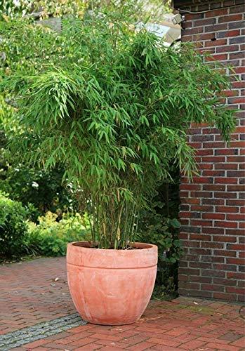 Fargesia murielae Jumbo - Heckenbambus Jumbo Preis nach Größe 100-120 cm