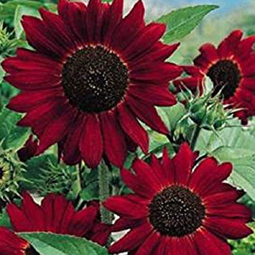 Red Sunflower Seeds UK 80 Helianthus Packet Flower Seeds by Pretty Wild...