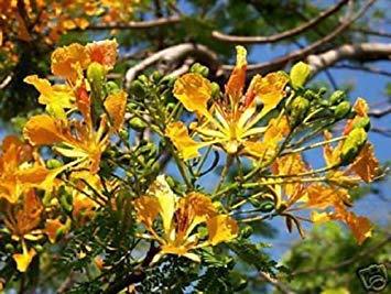 VISA STORE Delonix regia AMARILLO FLAMBOYAN ROY POINCIANA BONSAI RARE SEED de semillas 20 semillas
