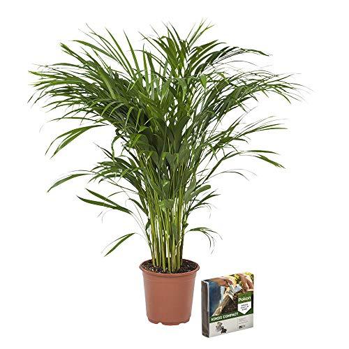 Árbol de interior de Botanicly | palma de la caña de oro | Altura: 100 cm | Areca dypsis lutescens