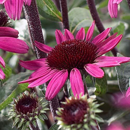 4 x Echinacea Purpurea 'After Midnight' - Zonnehoed pot 9cm x 9cm