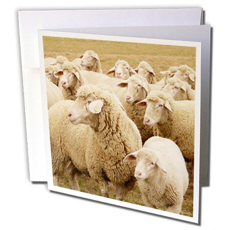 3dRose Sweet Sheep- Herds- Animals - Greeting Cards, 6 x 6 inches, set of 12 (gc_79142_2)