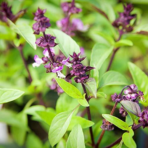 ca. 800 Samen Zimtbasilikum - exotisches Aroma, vielseitig verwendbar