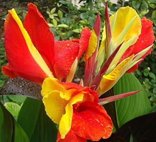 Aerlan Fleur Jardin Plantes vivaces résistante,Potted Flower Canna Garden Seeds-0.5kg_f14,Maison Jardin Extérieurplante
