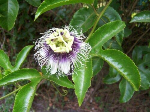 Desert Rose Free shipping anywhere in the nation Double Max 81% OFF Purple Native Flowers Tree to Africa