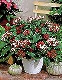 Aimado Seeds Garden-50 Pcs Viorne (Viburnum) graines Arbres et arbustes rustique vivace Feuillage persistant pour terrasse et balcon
