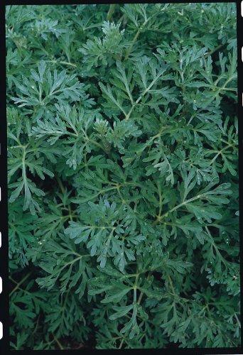 Il vous suffit de graines fines herbes???Contes???Armoise Plante)???500?graines