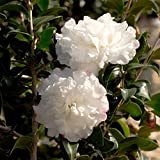 2 Gallon - October Magic Snow Camellia - Compact Evergreen Blooming Shrub - White Flowers in Fall -...