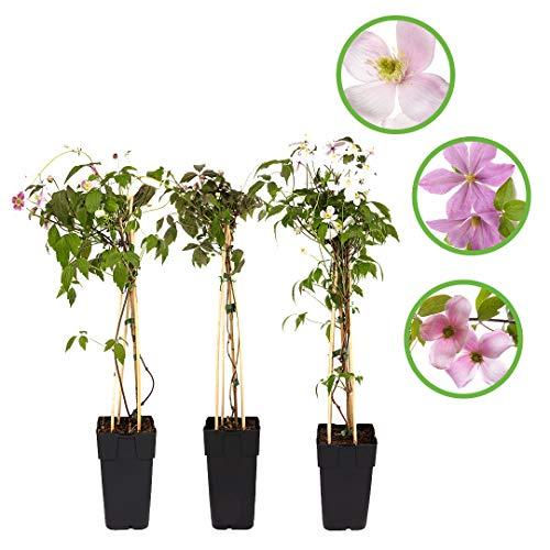 Clematis Montana Outdoor-Pflanze 3er-Set - mehrjährige Waldreben (Clematis, 3er-Set)
