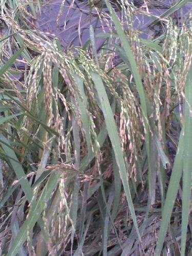 100 LONG GRAIN BROWN WHITE RICE Oryza Sativa Vegetable Seeds