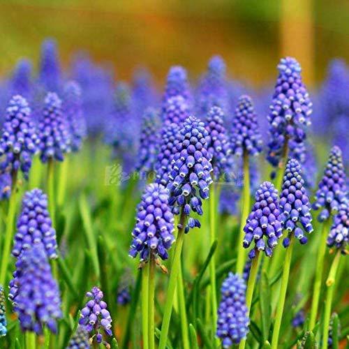 Tomasa Samenhaus- 100 stücke Echte Hyazinthe Samen Mischfarbe Pflanze Hausgarten Balkon Blumensamen Dekor Einfach Wachsen mehrjährig Blumenzwiebeln