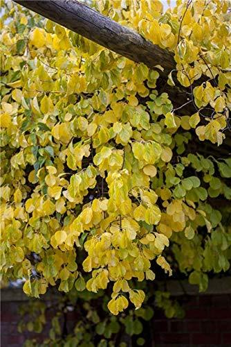 Celastrus orbiculatus 'Hercules' Baumwürger Kletterpflanze im Topf gewachsen (40-60cm)