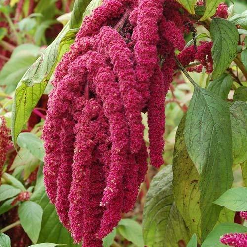Derlam Samenhaus-100 Pcs Fuchsschwanz Roter Amarant Blumensamen exotische Samen Kübelpflanze Saatgut Frühling für Garten